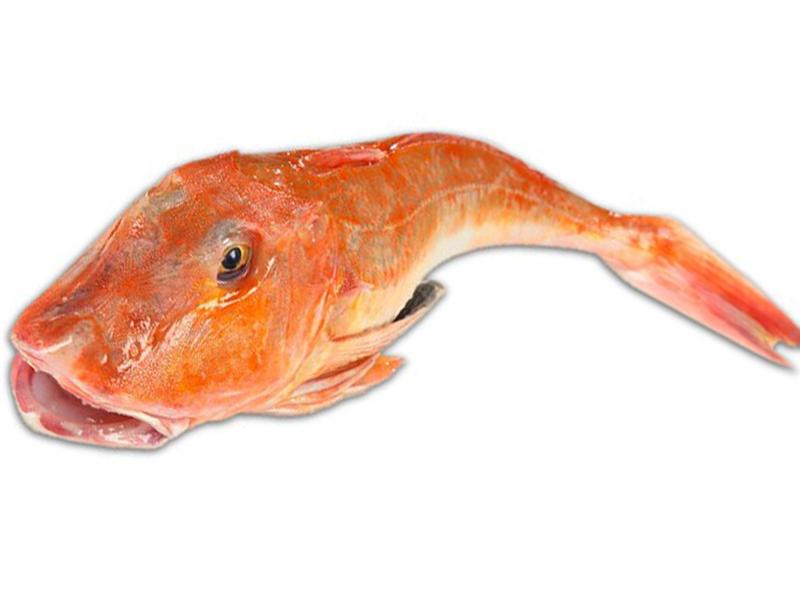gallinella-di-mare